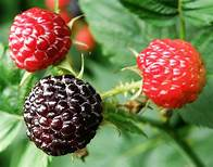 Raspberry- Best 12 Smoothie Ingredients Great To Boost Muscle